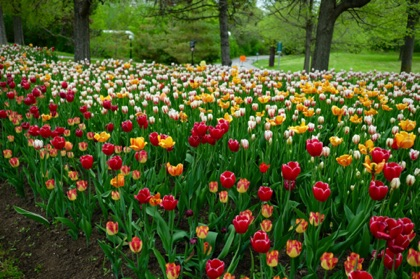 Tulip beds near the Voyageurs Trail, one of many public paths along the Ottawa River and Rideau Canal.