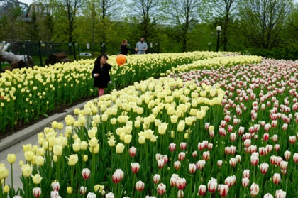 Tulip beds near Jacques Cartier Park in Gatineau.