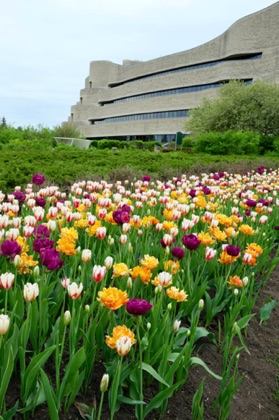 More tulip beds at the Museum of Civilization.